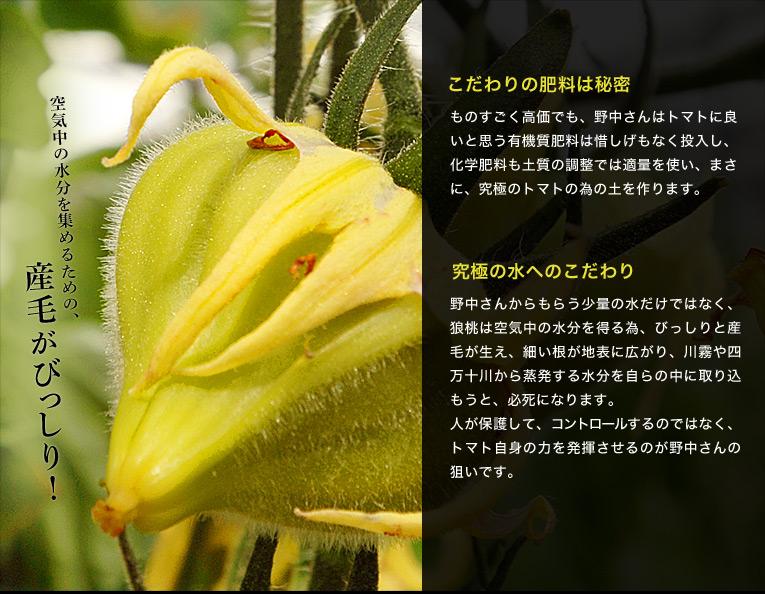 【こだわりの肥料は秘密】ものすごく高価でも、野中さんはトマトに良いと思う有機質肥料は惜しげもなく投入し、科学肥料も土質の調整では適量を使い、まさに、究極のトマトの為の土を作ります。 【究極の水へのこだわり】野中さんからもらう少量の水だけではなく、狼桃は空気中の水分を得る為、びっしりと産毛が生え、細い根が地表に広がり、川霧や四万十川から蒸発する水分を自らの中に取り込もうと、必死になります。人が保護して、コントロールするのではなく、トマト自身の力を発揮させるのが野中さんの狙いです。 【規格外のトマトを撤果する潔さ】DMファーマーズでは、変形果はどんどん撤果します。理由は『安易に流れない』為だそうです。まさに撤果は戒めです。