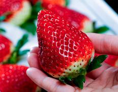 1粒約40g!畑の一等地から厳選されたプレミアム品限定『菅谷利男さんの超大粒いちご』茨城県産