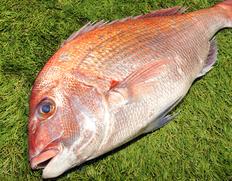 来島海峡の天然真鯛