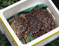 青森県陸奥湾の春の美味 トゲクリガニ(活・雄)の出荷が来週から始まります