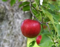 古木に実る原種の紅玉 樹齢百年以上!